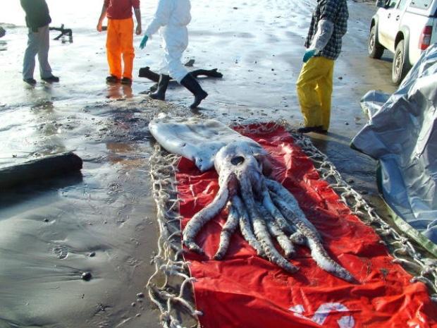 Calamar géant échoué sur une plage de Tasmanie