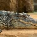 Une obèse blesse le crocodile d'un cirque en lui tombant dessus