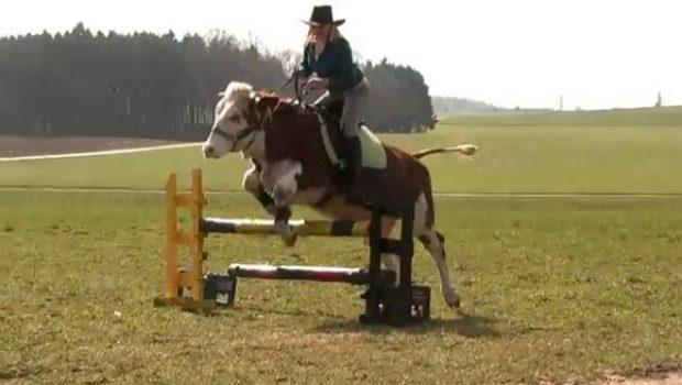 Une vache entra n e pour faire du saut d 39 obstacle comme un cheval - Frison saut d obstacle ...