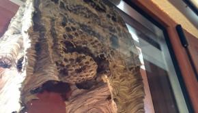 la construction d'un nid de frelons filmée à l'intérieur d'une fenêtre