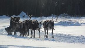 La police sibérienne va utiliser des traîneaux tirés par des rennes pour traquer les délinquants