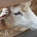 Stressé par ses partiels, il couche ivre avec un mouton et se fait arrêter