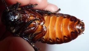 Un zoo propose pour la Saint-Valentin de nommer une blatte siffleuse avec le prénom de son ex