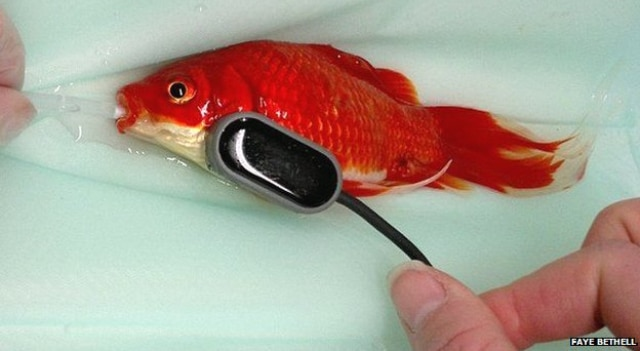 Une opération à 300 £ pour sauver un poisson rouge constipé