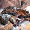 La grenouille des bois cryogénise son corps tous les hivers pour revivre au printemps