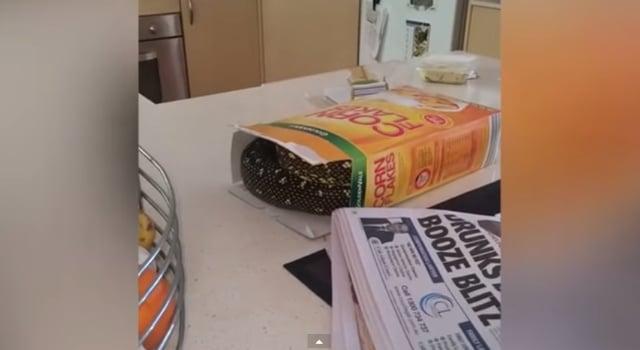 Un python caché dans son paquet de céréales