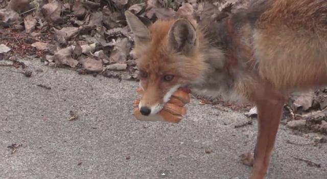 Renard se fait un sandwich à Tchernobyl