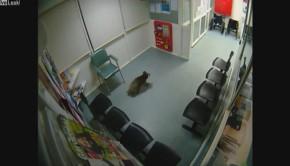 Un koala dans un hôpital