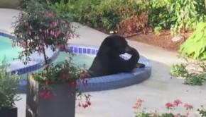 ours dans une piscine et un jacuzzi