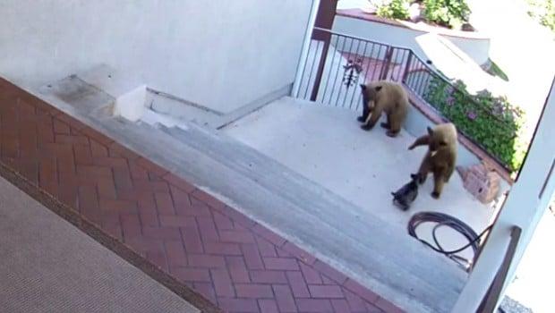 bouledogue met en fuite deux oursons
