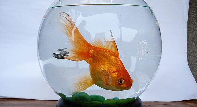 Le bocal d 39 un poisson d clenche un incendie mais son eau for Poisson bocal