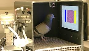 pigeons détectent cellules cancéreuses malignes ou bénignes