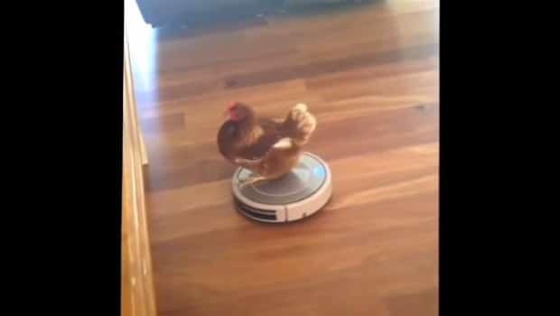 poule domestique sur aspirateur robot