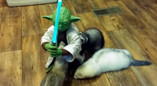 Yoda avec des furets