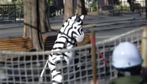 fausse évasion d'un zèbre au zoo