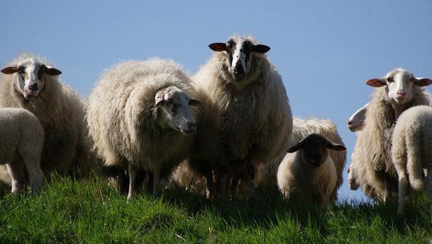 moutons drogués au cannabis sèment la pagaille