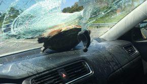 tortue traverse pare-brise d'une voiture