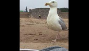 goëland vole téléphone sur la plage