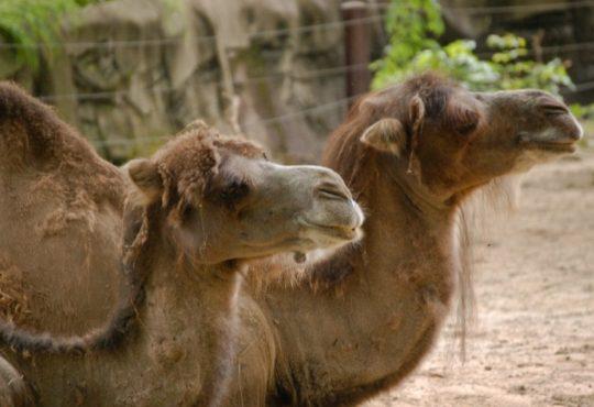 Des chameaux exclus d'un concours de beauté à cause du botox