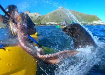 Kayakiste frappé par poulpe en Nouvelle-Zélande
